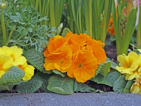 orange and yellow primroses in early spring