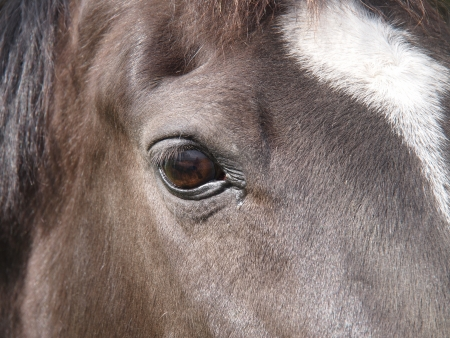 Portrait of a dark brown horse on a meadow