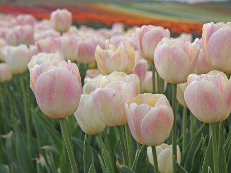 Tulip field with pink and white blossoms Stock Photo