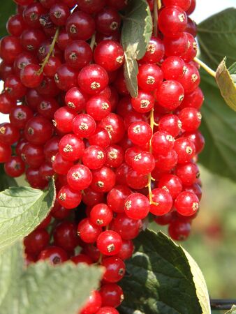 Red currants just before harvest Stock Photo
