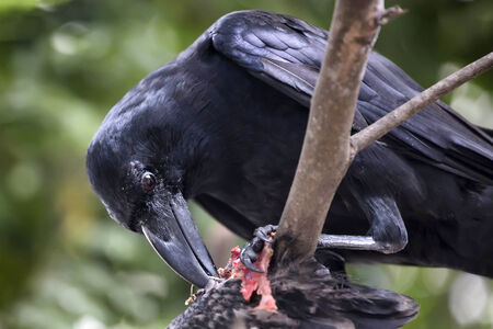 Raven and Carrion photo