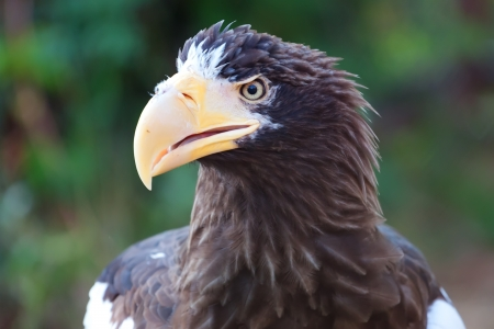 Steller s Sea Eagle photo