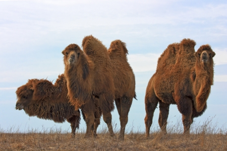Group of bactrian camels