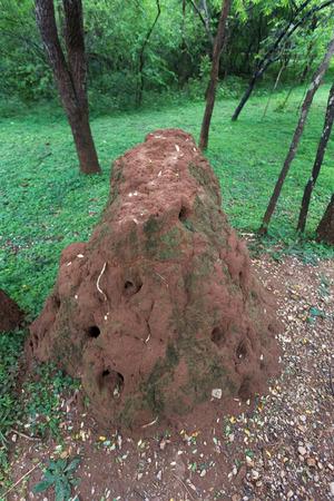 Colony of thermites (white ants) in Sri Lanka Stock Photo - 25828755