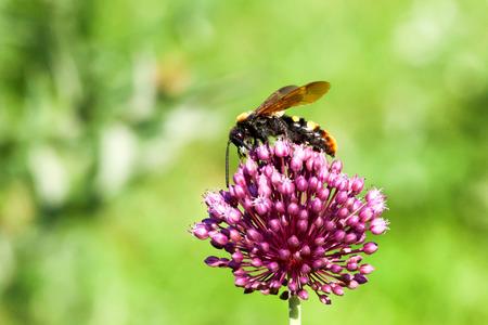 花の上に座って巨大なスズメバチ (Scolia ワーギ)