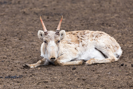 colouration: Male saiga antelope  Stock Photo