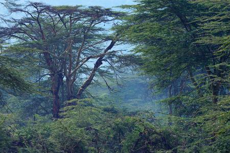 アカシアや緑豊かな茂みでアフリカ山林