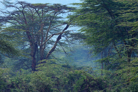 Mountain african forest with acacia and lush bushes