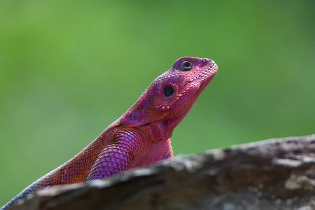 mwanza: Mwanza flat-headed rock agama ( Agama mwanzae ) sitting on a rock