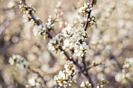 Wallpaper with blossoming of blackthorn in spring photo