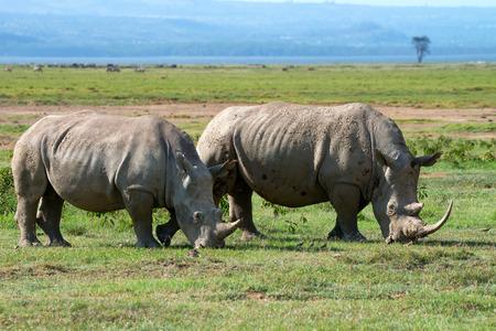 Two white rhinoceros (Ceratotherium simum) grazing in national park Lake Nakuru, Kenya photo