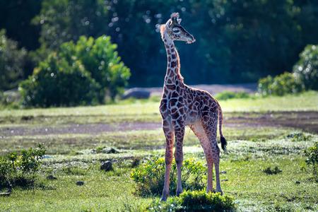 giraffa: Baby masai giraffe ( Giraffa camelopardalis tippelskirchi ) in savanna