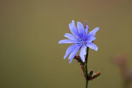 andijvie: Gemeenschappelijke chikory (Cichorium intybus) is ook bekend als andijvie en witloof Stockfoto