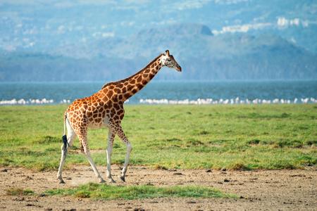 giraffa camelopardalis: Savanna landscape with ugandan giraffe ( Giraffa camelopardalis rothschildi )