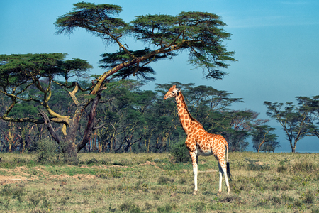 ugandan: Savanna landscape with ugandan giraffe (Giraffa camelopardalis rothschildi) Stock Photo