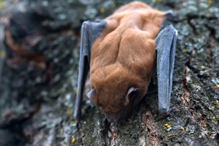 Common noctule ( Nyctalus noctula ) is sleeping on a tree Reklamní fotografie