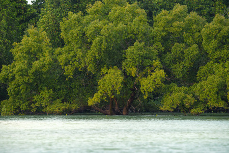 lush foliage: Scenic mangrove forest with lush foliage and ocean