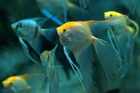 pterophyllum: Pack of freshwater angelfish ( Pterophyllum scalare ) in big aquarium Stock Photo