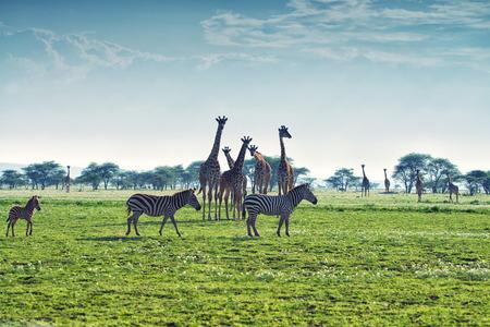 Zebras, giraffes and wildebeests are walking in African savannah