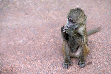 anubis: Baby olive baboon ( Papio anubis ) is sitting on the ground