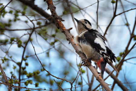 dendrocopos: Great spotted woodpecker  Dendrocopos major   is sitting on a tree branch