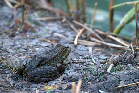 ridibundus: Marsh frog ( Pelophylax ridibundus ) is sitting in a swamp