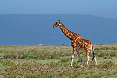 ugandan: Savanna landscape with ugandan giraffe  Giraffa camelopardalis rothschildi  and rhinos Stock Photo