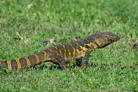 niloticus: Nile monitor ( Varanus niloticus ) is crawling in African savannah