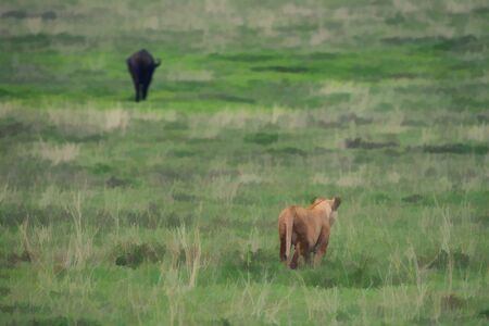 serengeti: Lioness is creeping to African buffalo