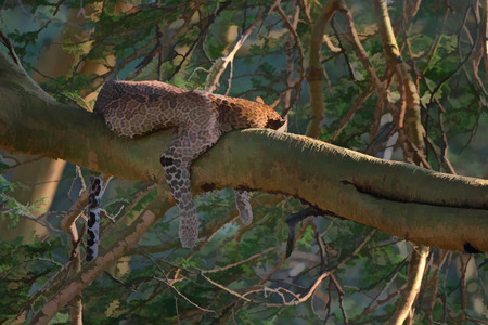 serengeti: Leopard ( Panthera pardus) is resting on a branch of a tree