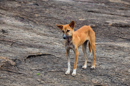waif: Young skinny red stray dog is waiting for some food from people Stock Photo