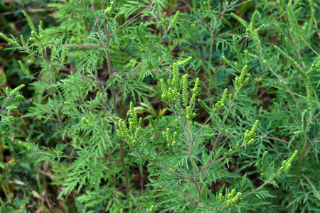 ambrosia: American common ragweed ( Ambrosia artemisiifolia ) causing allergy