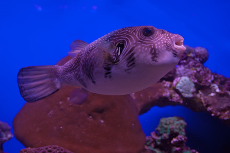 arothron: White-spotted puffer (Arothron hispidus) in marine aquarium