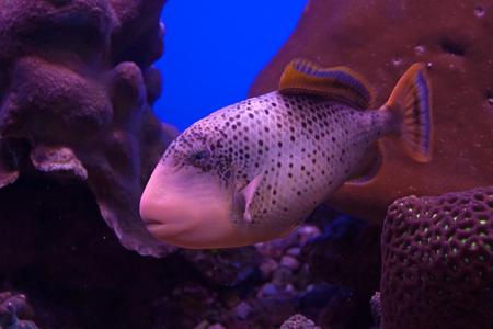 triggerfish: Yellowmargin triggerfish  Flavimarginatus pseudobalistes  in marine aquarium