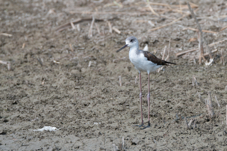 himantopus: Young black-winged stilt ( Himantopus himantopus ) wading in marsh