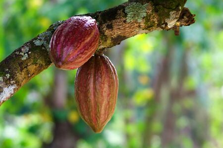 cocoa fruit: Cocoa fruit ( Theobroma cacao ) on a tree