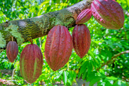 Cocoa fruit ( Theobroma cacao ) on a tree