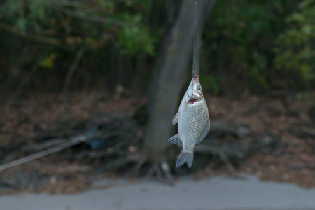 freshwater: Fish is caught during the fishing in freshwater river