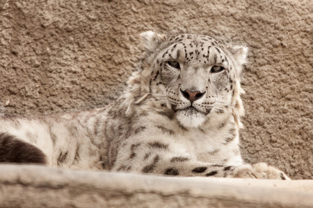 cruel zoo: Snow leopard ( Panthera uncia ) in Moscow Zoo Stock Photo