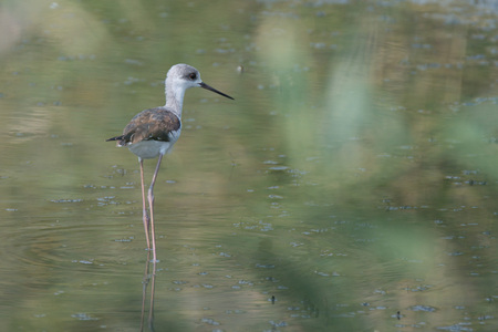 black winged stilt: Young black-winged stilt ( Himantopus himantopus ) wading in marsh
