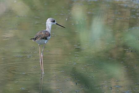 long legged: Young black-winged stilt ( Himantopus himantopus ) wading in marsh