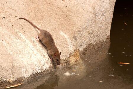 norvegicus: Common ( Rattus norvegicus ) brown rat in urban environment