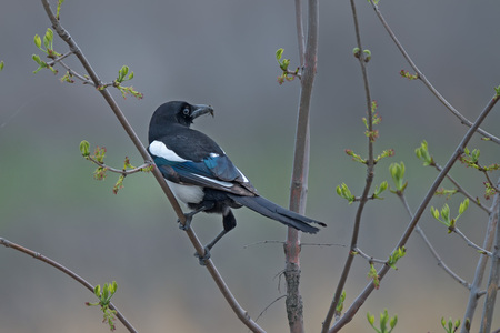 Common Eurasian magpie ( Pica pica ) during its perching