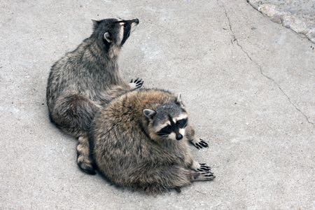 raccoons: Pair of raccoons in captivity in the zoo Stock Photo