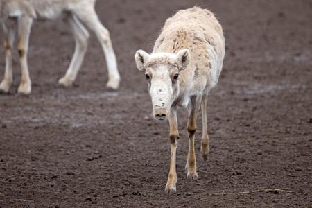 colouration: Female saiga antelope (Saiga tatarica) in winter colouration