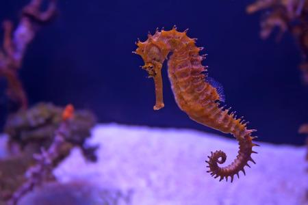 カラフルなサンゴ礁で泳ぐクローズ アップ タツノオトシゴ 写真素材