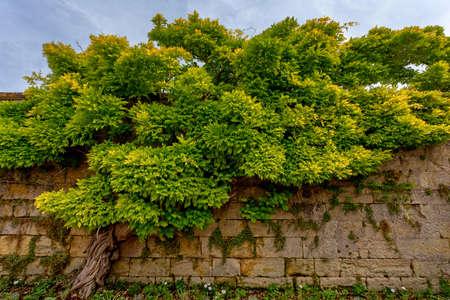 wistaria: Beautiful Chinese wisteria ( Wisteria sinensis )