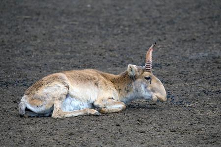 colouration: Male saiga antelope (Saiga tatarica) in winter colouration