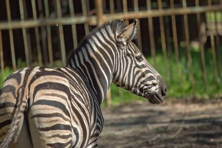 conservation grazing: Single closeup zebra in the zoo