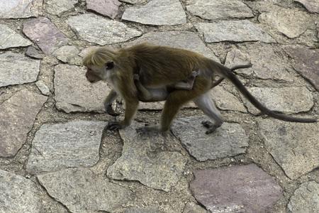 toque: Close-up portrait of Sri-Lankan toque macaque (Macaca sinica) Stock Photo